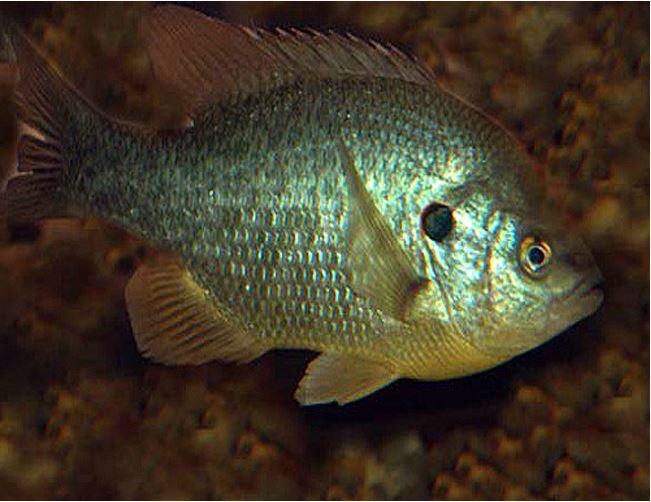 Redear Sunfish Shellcracker Gamefish