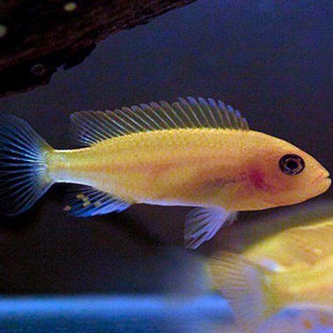 Rock Dwelling Mbuna Cichlid, freshwater aquarium fish