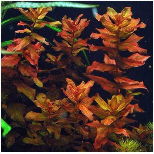 Rotala Macrandra Aquarium Plant