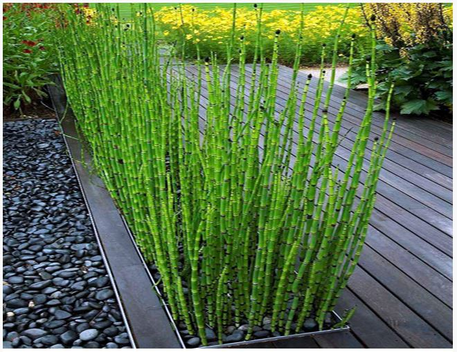 Rush Horsetail Or Equisetum Hyemale Bog Plant Arizona Aquatic