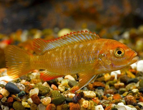 Rusty Cichlid, African Cichlids Aquarium Fish