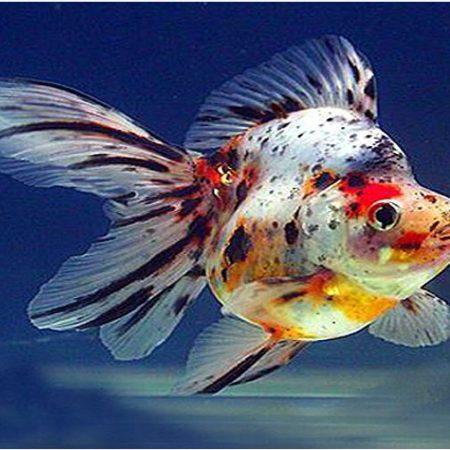 Ryukin Goldfish Assorted Colors