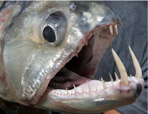 Saber Tusk Barracuda or Vampire Tetra