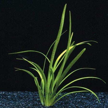 Sagittaria Natans Aquarium Plant