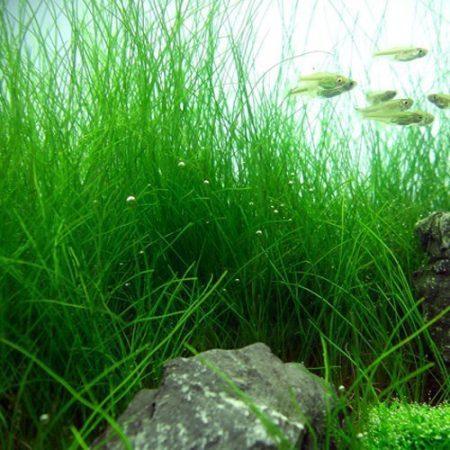 Sagittaria Shoelace Aquarium Plant