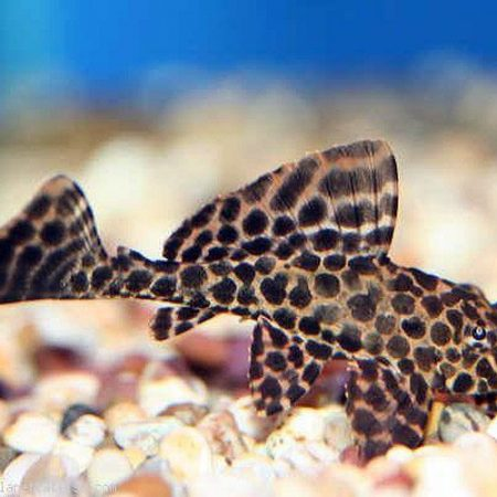 Sailfin Pleco Black Gibbiceps Algae Fish small