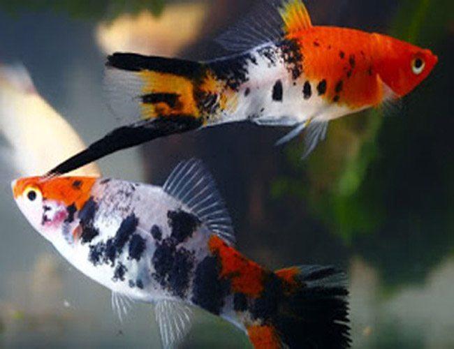 Sanke Koi Swordtail Fish