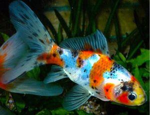 Shubunkin or Harlequin Goldfish