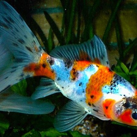 Shubunkin or Harlequin Goldfish