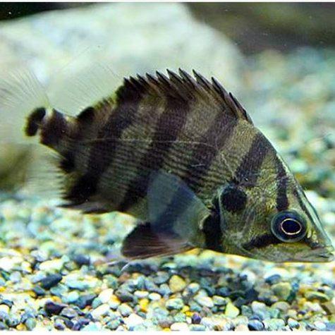 Silver American Datnioides Tigerfish 2