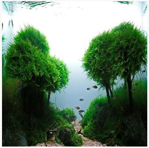 Singapore Java Moss Aquatic Plant 3