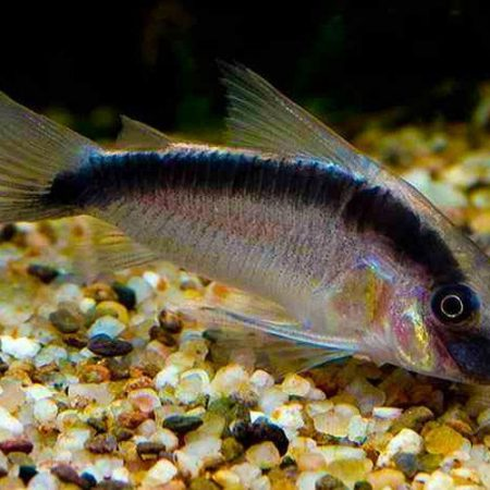 Skunk Cory Catfish