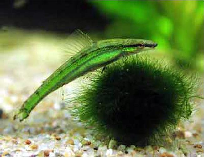 South American Green Darter Tropical Tetra