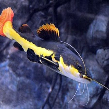 South American Red Tailed Catfish, Aquarium Fish