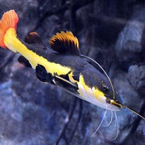 South American Red Tailed Catfish, Aquarium Fish