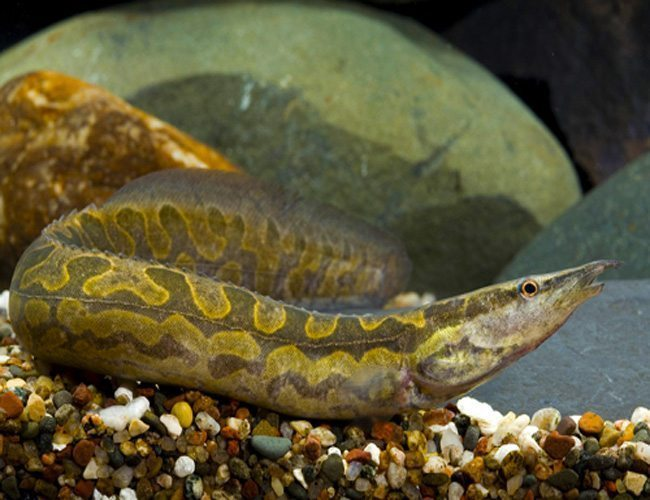 Spiny Tire Track Eel