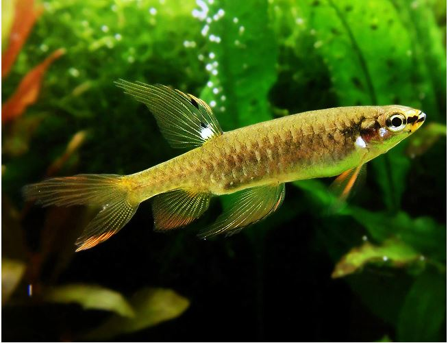 Splashing Tropical Tetra