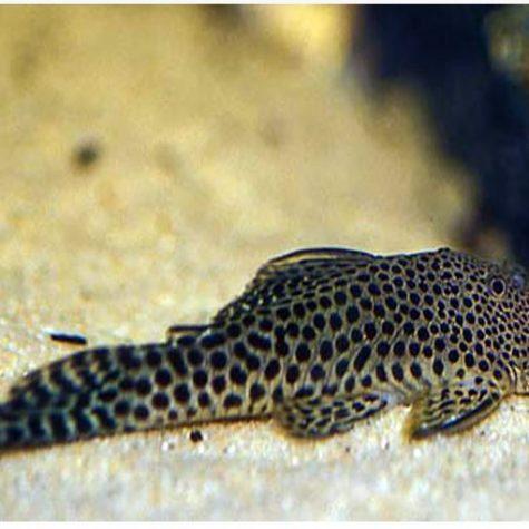 Spotted Rubbernose Pleco L-187A Algae Fish