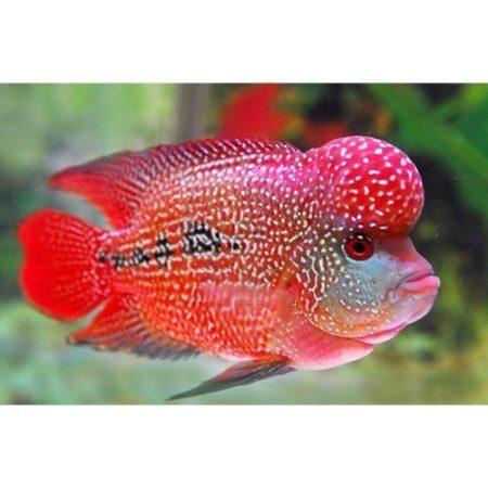 Strawberry Flowerhorn Cichlid