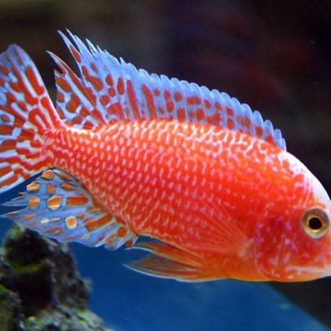 Strawberry Peacock Firefish Cichlid