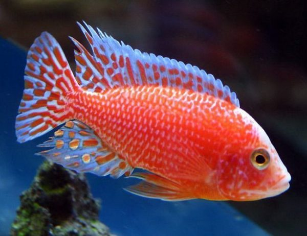 Strawberry Peacock Firefish Cichlid