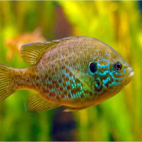 Sunfish Pumpkinseed Gamefish