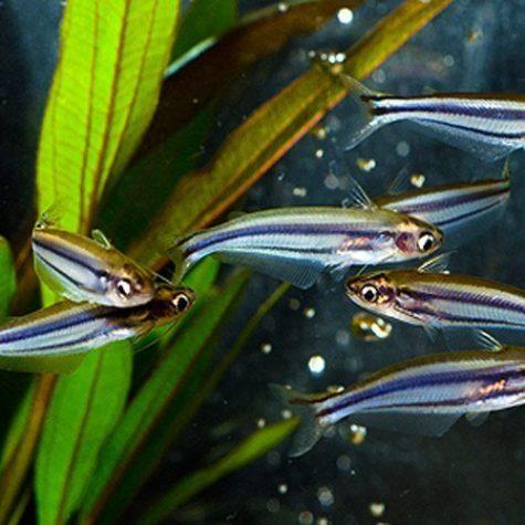 Swallow Tail Catfish