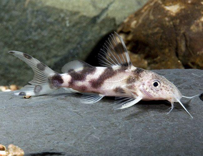 Synodontis decorus Catfish