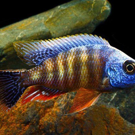Taiwan Reef Cichlid