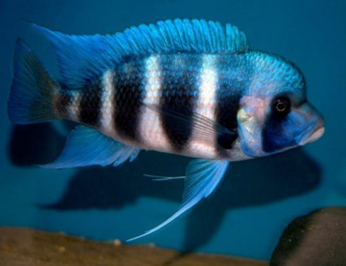 Tanganyikan Cichlid - Mpimbwe Blue Frontosa