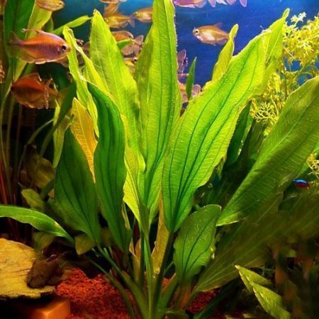 The Green Melon Sword Aquarium Plant