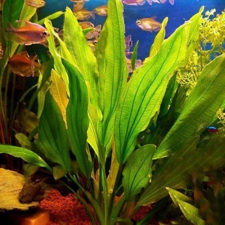 The Green Melon Sword Aquarium Plant
