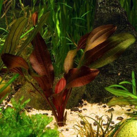 The Kleiner Prinz Echinodorus Sword Aquarium Plant