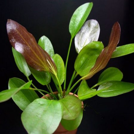 The Melon Red Sword Freshwater Aquarium Plant