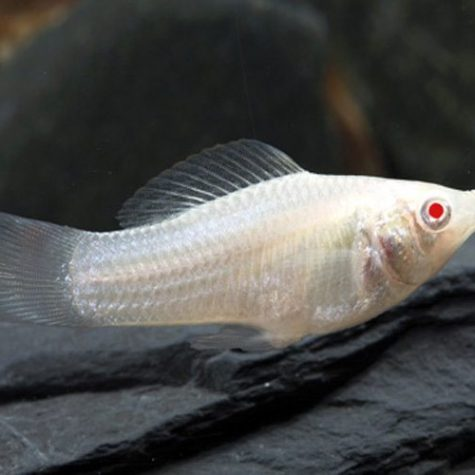 True Albino Sailfin Molly