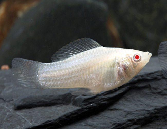 True Albino Sailfin Molly