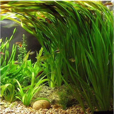 Vallisneria Italian Tiger Aquarium Plant