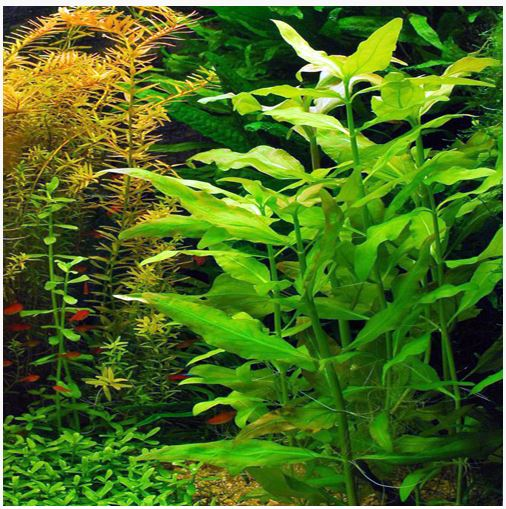 Water Snowball Bunched Aquatic Plant