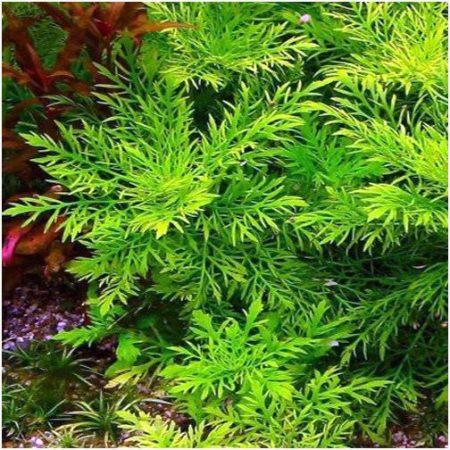 Water Wisteria Hygrophila Difformis Potted Form Plant