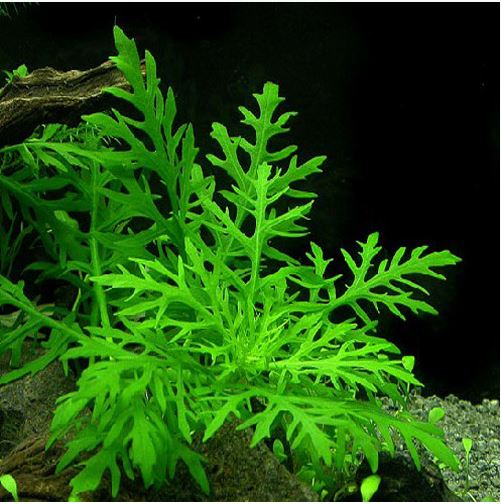 Water Wisteria Hygrophila difformis Potted Submerged