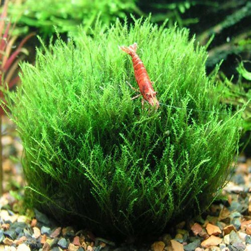 Willow Moss Aquarium Plant for Freshwater Tanks