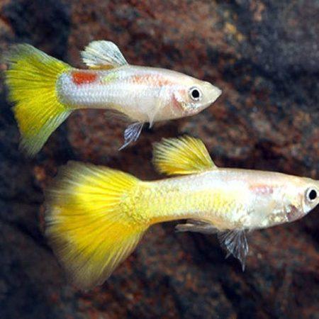 Yellow Micariff Guppy Males