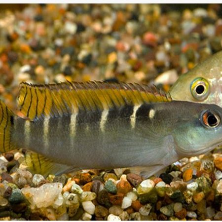 Yellow Tail Dwarf Pike Cichlid