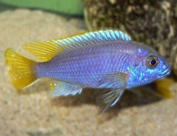 Yellow-Tailed Violet Acei Cichlid