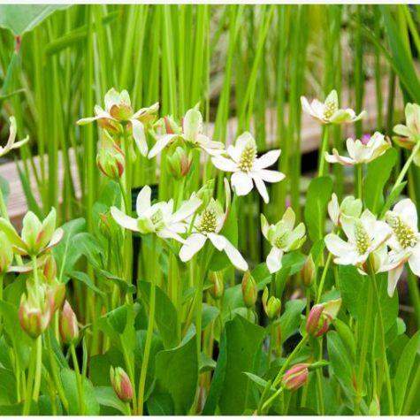 Yerba Mansa or Anemopsis Californica Bog Plant