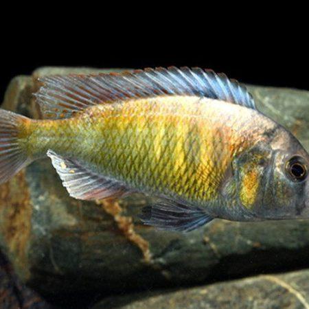 Zebra Obliquidens Cichlid, African Cichlids Aquarium Fish
