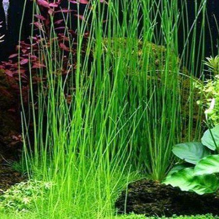 Zephyr Lily or Dwarf Onion POTTED FORM Aquarium Plant