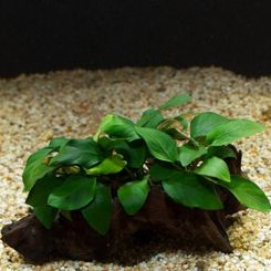 Aquarium Plants on Driftwood