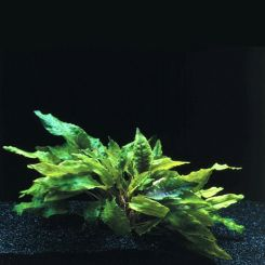 Cryptocoryne Aquarium Plants