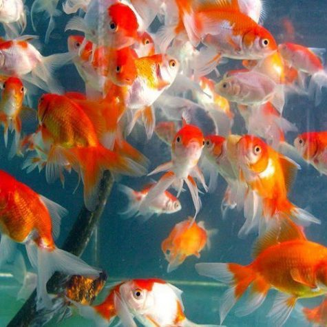 Assorted Fancy Fantail Goldfish